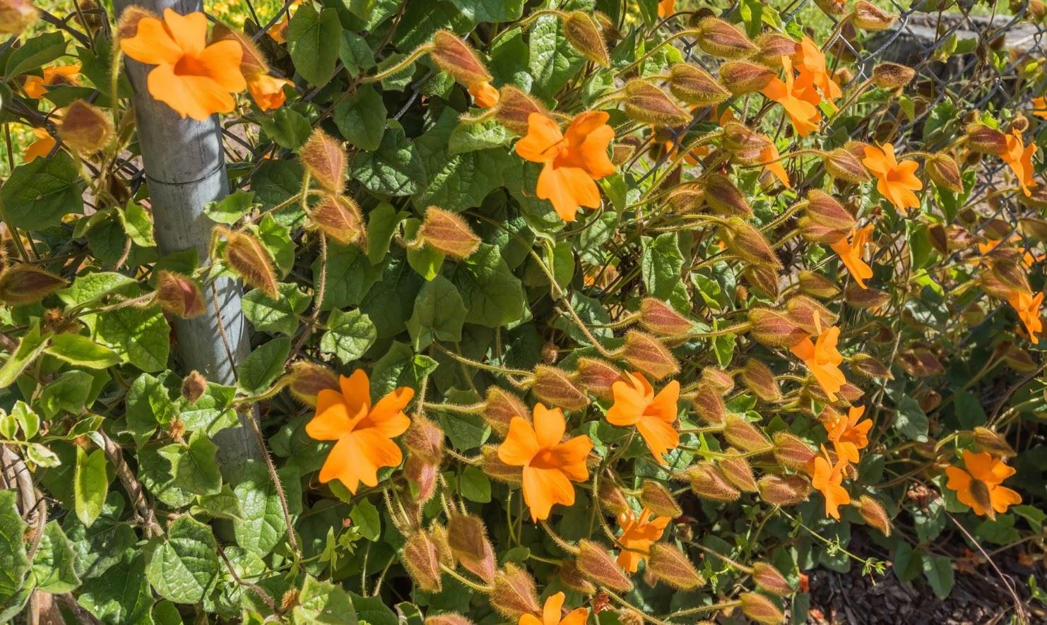 Morro Bay Rock Revival - Exterior - Close up on flowering vines in backyard