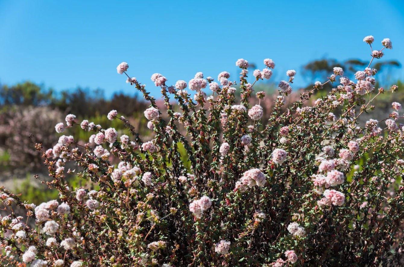 Morro Bay Rock Revival - Exterior - Closeup of local flowering bush